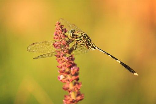 Dragonfly, Kinjeng, Insects, Dragonfly Kebo, Banyumas