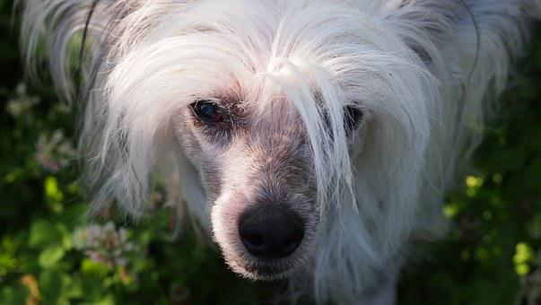 Chinese Crested Dog, Dog, Animal