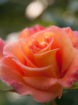 Flowers, Rose, Sunshine, Plant, Orange