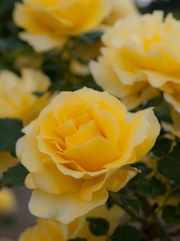 Flowers, Japan, Rose, Yellow, Plant, Four Seasons Rose