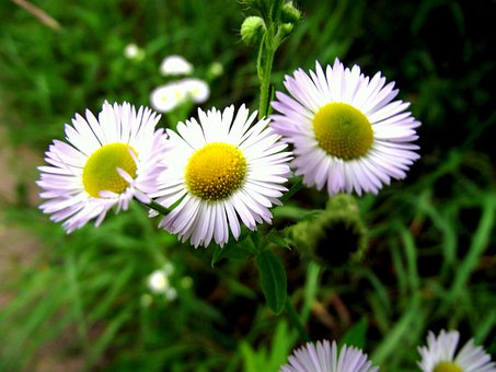 Chamomile, Grass, Wild Flowers, Plant