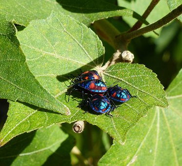 Hibiscus Bugs, Close-up, Insects, Harlequin