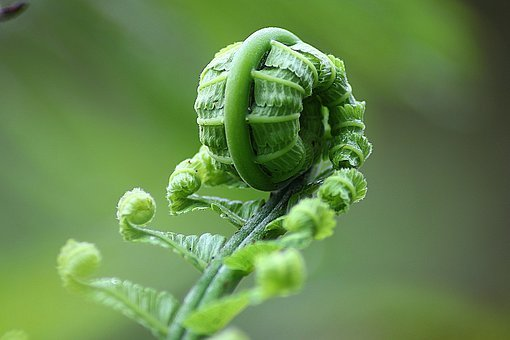 Fern, Leaf, Roll, Nature, Natural, Botanical, Organic