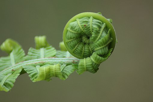 Fern, Leaf, Roll, Nature, Plant, Natural, Botanical