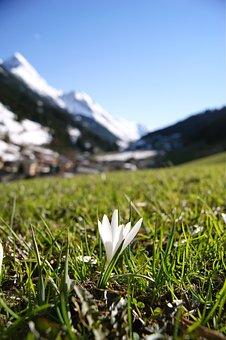 Snowdrop, Flower, Alps, Mountains, Ve, Austria, Nature