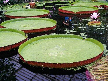 Water, Lily, Nymphaeaceae, Rhizomatous, Aquatic, Herb