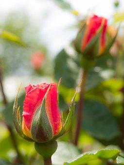 Flowers, Rose, Sunshine, Orange, Four Seasons Rose