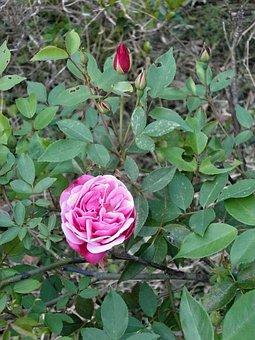 Rose, Four Seasons Rose, Pink Flower