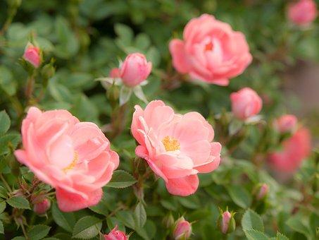 Flowers, Sunshine, Rose, Plant, Orange
