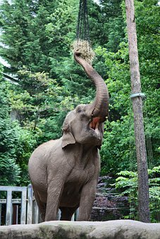 Elephant, Pachyderm, Zoo, Eat, Proboscis, Animals