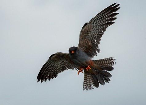 Raptor, Wild, Red Footed Falcon, Feathers