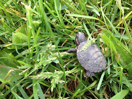 Turtle, Grass, Baby, Nature, Wildlife, Shell, Green