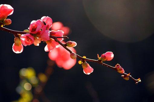 Tree, Flower, Japanese Flowering Crabapple, Nature, Sky