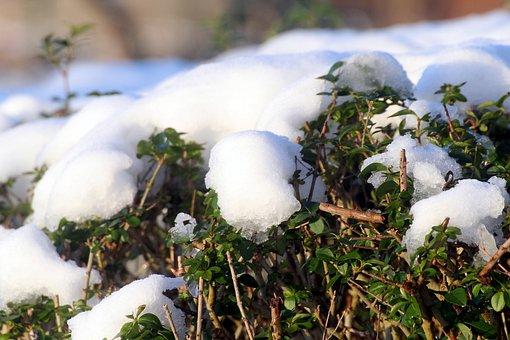 Snow, Privet Hedge, Thaw, Winter, Periwinkle