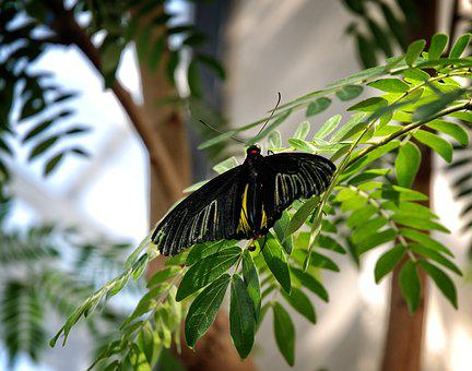 Butterfly, Troides, Rhadamantus, Moth, Philipines