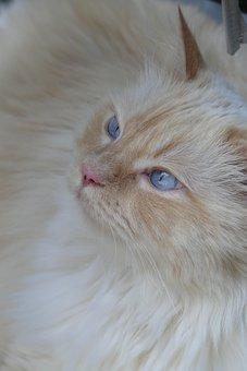Cat, Blue Eye, Animals, Adidas, Cat's Eyes, Cat Face