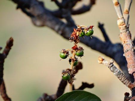 Fruit Of The Cerrado, Murici, Fruit Of Murici, Tree