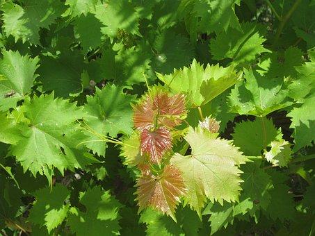 Vita De Vie, Green, Nature, Plants, Spring, Leaves