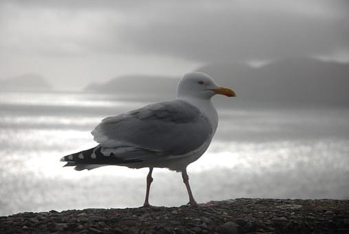 Gull, Ireland, Dingle, Slea Head, Castlecove, Ventry