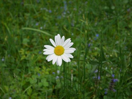 Marguerite, Flower, Nature, Green, Dog Daisy