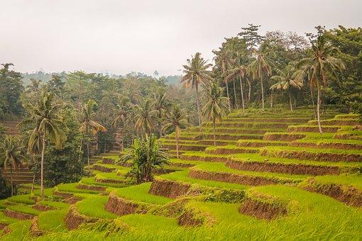 Padi, Land, Hill, Coconut