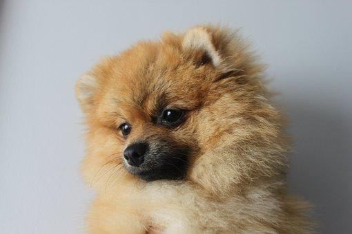 Pomerannian, Spitz Iniaturowy, Dog, Animals, Sweet