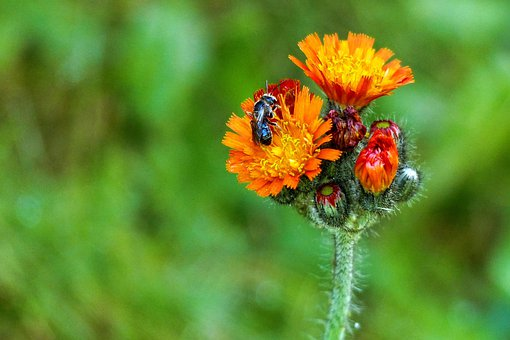 Orange, Red, Hawk Weed, Wild Flower, Meadow, Insect