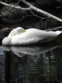 Swan, Pond, Branch, Sleeping, Waterfowl, Animal, White