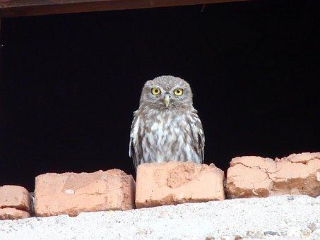 Owlet, Bird, Owl, Animal