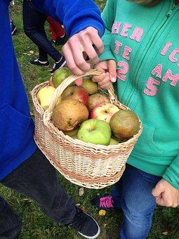 Apples, Collection, Basket, Harvest, Fruit