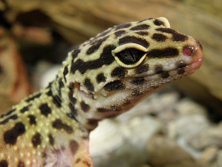 Gecko, Eublepharis, Gekončík, Head, Detail, Eye