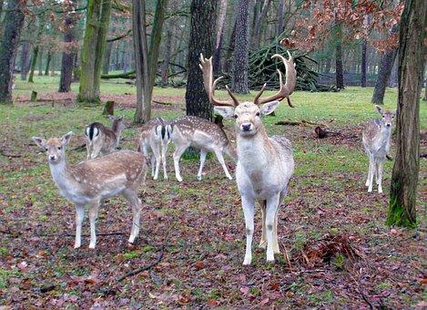 Fallow Deer Group, Fallow Deer, Fur, Stains, Antler