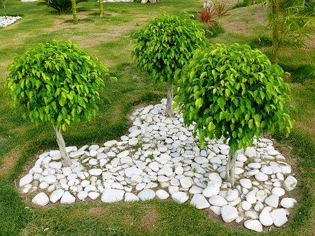 Three, Trees, Ficus, Benjamin, Plant, Dominican