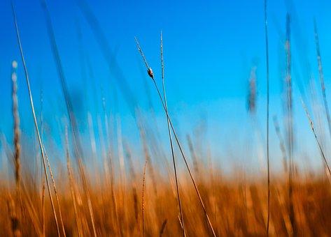 Nature, Blue, Macro, Wheat, Light, Season, Sun, Field