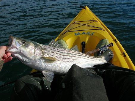 Fishing, Striped Bass, Fish, Kayak, Fisher