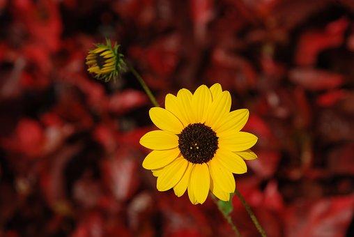 Flower, Yellow Flower, Indian Sunflower