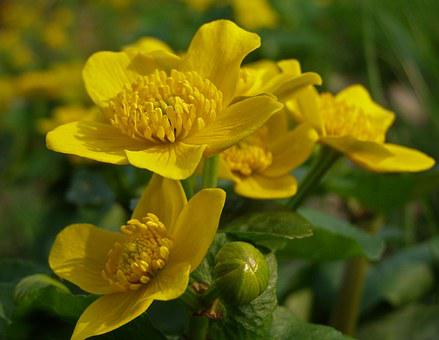 Your Marigolds, Spring, Flower, Marsh Marigold Mud