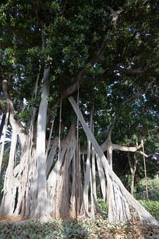 Ficus Macrophylla, Plant, Huge, Leaves, Green, Nature