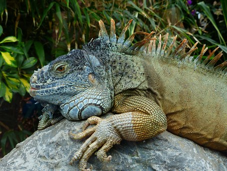 Green Iguana, Iguana, Iguana Iguana, Iguanidae