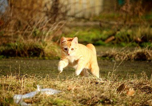 Cat, Red Mackerel Tabby, Jump, Play, Kitten, Cat Baby