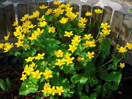 Marsh Marigold, Yellow Flower, Spring