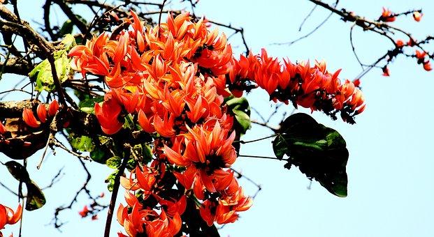 Bombax Ceiba, Oraand, Forest, Flower, Wildflower, Tree