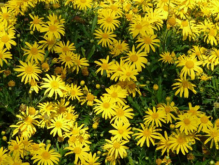 Gold Eye Daisy, Yellow Strauchmargerite