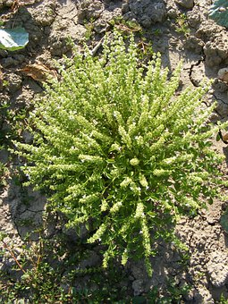 Basil, Bloom, Bush, Flowers, Minimum, Ocymum, Plants