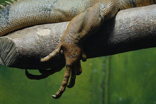 Claw, Foot, Dragon, Iguana, Reptile, Leg, Scale, Scaly