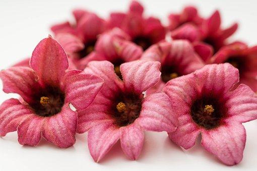 Brachychiton Bidwillii, Pink, Flowers, Beauty, Color
