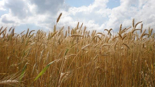 The Grain, Ears, The Production Of Grain, Wheat, Summer