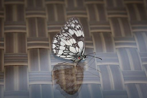 Butterfly, Pontia Edusa, Insect, Flight Insect, Wing