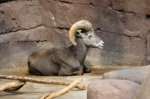 Zoo, Netherlands, Holland, Capricorn, Rest, Isolated