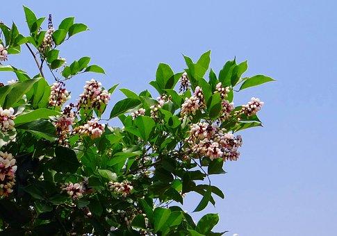 Milletia, Pinnata, Karanj, Flower, Flora
